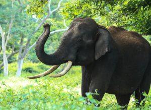 Elephants use low rumbling infrasonic sounds